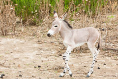 Somali wild in nature. One juvenal somali wild in nature stock images