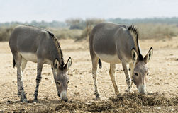 Somali wild ass in nature reserve. Somali wild ass (Equus africanus) in Hai-Bar national biblical nature reserve, 35 km north of Eilat, Israel Stock Image