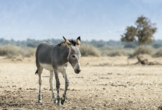 Somali wild ass in nature reserve Royalty Free Stock Images
