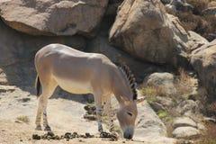 Somali wild ass & x28;Equus africanus somaliensis& x29; Royalty Free Stock Photo