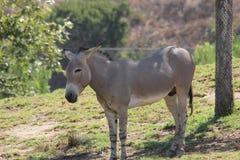 Somali wild ass & x28;Equus africanus somaliensis& x29; Royalty Free Stock Photography