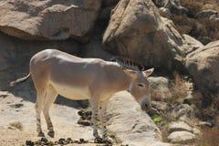 Somali wild ass & x28;Equus africanus somaliensis& x29; Stock Images