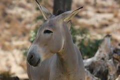 Somali wild ass & x28;Equus africanus somaliensis& x29; Royalty Free Stock Image