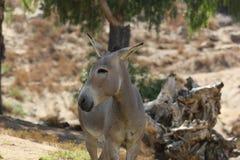 Somali wild ass & x28;Equus africanus somaliensis& x29; Royalty Free Stock Images