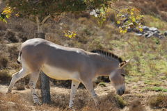 Somali wild ass & x28;Equus africanus somaliensis& x29; Stock Photos