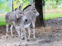 Somali wild asses Royalty Free Stock Images