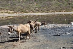 Somali wild ass (Equus africanus somalicus). Somali wild asses (Equus africanus somalicus) at the El Sod crater lake, Ethiopia Royalty Free Stock Photography