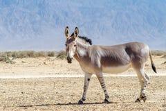 Somali wild donkey (Equus africanus) Stock Photo