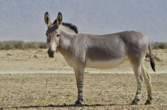 Somali wild donkey (Equus africanus). Is the forefather of all domestic asses. This species is extremely rare both in nature and in captivity. Nowadays it Stock Photos