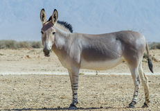 Somali wild donkey (Equus africanus). Is the forefather of all domestic asses. This species is extremely rare both in nature and in captivity. Nowadays it stock photography
