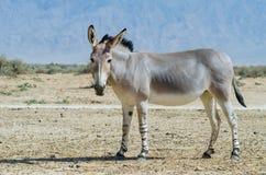 Somali wild donkey (Equus africanus) Royalty Free Stock Photography