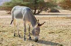 Somali wild donkey (Equus africanus) Royalty Free Stock Photo