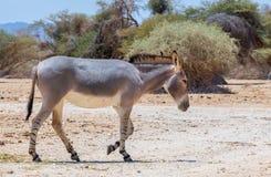 Somali wild donkey (Equus africanus) inhabits nature reserve near Eilat city, Israel Royalty Free Stock Image