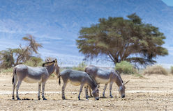 Somali wild donkey Equus africanus inhabits nature reserve near Eilat city, Israel. This species is extremely rare both in nature and in captivity royalty free stock image