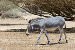Somali wild donkey Equus africanus inhabits nature reserve near Eilat city, Israel. This species is extremely rare both in nature and in captivity Royalty Free Stock Photos