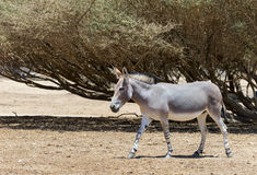 Somali wild donkey Equus africanus inhabits nature reserve near Eilat city, Israel. This species is extremely rare both in nature and in captivity Royalty Free Stock Photography