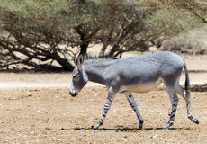 Somali wild donkey Equus africanus inhabits nature reserve near Eilat city, Israel. This species is extremely rare both in nature and in captivity Stock Photo