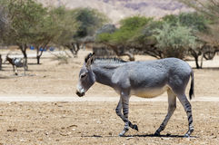 Somali wild donkey Equus africanus inhabits nature reserve near Eilat city, Israel. This species is extremely rare both in nature and in captivity royalty free stock photo