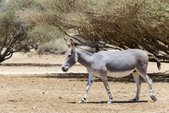 Somali wild donkey Equus africanus inhabits nature reserve near Eilat city, Israel. This species is extremely rare both in nature and in captivity Royalty Free Stock Images