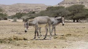 Somali wild donkey (Equus africanus) in nature reserve near Eilat, Israel stock video footage
