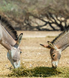 Somali wild donkey (Equus africanus) in nature reserve near Eilat, Israel. Somali wild donkey (Equus africanus) is the forefather of all domestic asses. This royalty free stock image