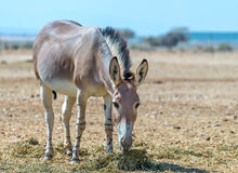 Somali wild donkey (Equus africanus) in nature reserve near Eilat, Israel Stock Image