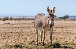 Somali wild donkey (Equus africanus) in nature reserve near Eilat, Israel Royalty Free Stock Image