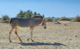 Somali wild donkey Equus africanus. This species is extremely rare both in nature and in captivity. Nowadays it inhabits nature reserve near Eilat, Israel stock images