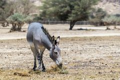 Somali wild donkey Equus africanus. This species is extremely rare both in nature and in captivity. Nowadays it inhabits nature reserve near Eilat, Israel Stock Image