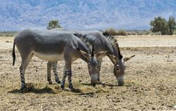 Somali wild donkey - Equus africanus. This species is extremely rare both in nature and in captivity. Nowadays it inhabits nature reserve near Eilat, Israel royalty free stock photo
