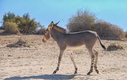 Somali wild donkey Equus africanus. This species is extremely rare both in nature and in captivity. Nowadays it inhabits nature reserve near Eilat, Israel Stock Photos