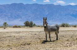Somali wild donkey Equus africanus. This species is extremely rare both in nature and in captivity. Nowadays it inhabits nature reserve near Eilat, Israel royalty free stock photo