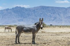 Somali wild donkey - Equus africanus. This species is extremely rare both in nature and in captivity. Nowadays it inhabits nature reserve near Eilat, Israel royalty free stock photography