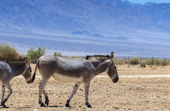 Somali wild donkey Equus africanus. This species inhabits nature reserve near Eilat city, Israel stock photography