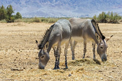 Somali wild donkey Equus africanus. This species inhabits nature reserve near Eilat city, Israel royalty free stock images