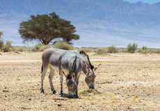 Somali wild donkey Equus africanus. This species inhabits nature reserve near Eilat city, Israel Royalty Free Stock Image
