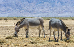 Somali wild donkey Equus africanus. This species inhabits nature reserve near Eilat city, Israel Stock Image
