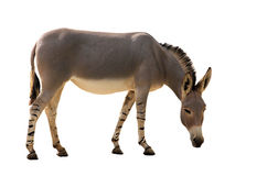 Somali wild donkey. Equus africanus on white background stock images