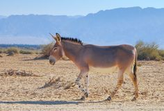 Somali wild donkeyEquus africanus. This species is extremely rare both in nature and in captivity. Nowadays it inhabits nature reserve near Eilat, Israel Stock Photo