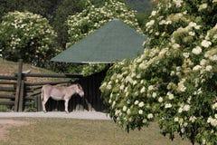 somali wild för röv Royaltyfri Foto