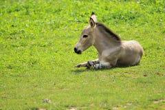 somali wild för röv Arkivbilder