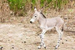 somali wild för rövnatur Arkivbilder
