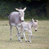 Somalijska Dzikiego osła matka z źrebięciem Fotografia Royalty Free