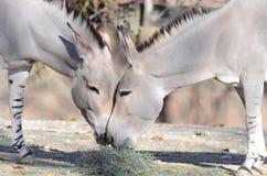 Somalijski dzikich osłów jeść Obraz Royalty Free
