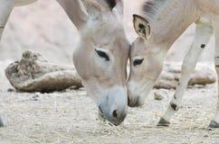 Somalijski dzikiego osła dziecko 2 i matka Obraz Stock