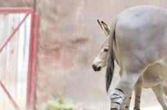 Somalijskie dzikiego osła głowy lub ogony Obraz Stock