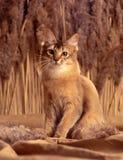 Somalische Katze Lizenzfreies Stockfoto