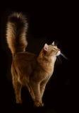 Somalische Katze auf schwarzem Hintergrund Stockfotos