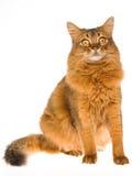 Somalische Katze, die auf weißem Hintergrund sitzt Lizenzfreies Stockbild
