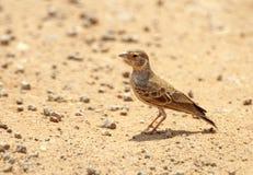 Somalische Vinkleeuwerik, Chestnut-headed Sparrow-Lark, Eremopterix signatus royalty free stock image